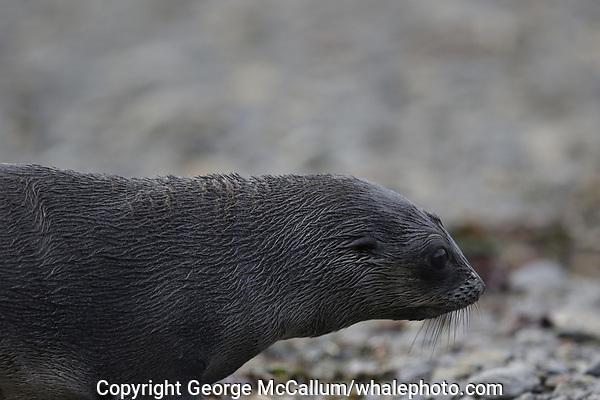 Antarctic Fur seal, Arctocephalus gazella ,pup on beach at Gryviken whaling station South Orkney Islands, Scotia sea Southern Ocean, Antarctica