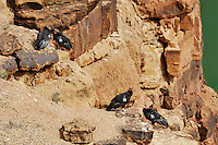 California Condor (Gymnogyps californianus), Grand Canyon National Park, Arizona.