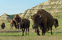 American Bison (Bison bison) herd walking across grassland in badlands area.  Northern Great Plains.  Summer. Cow and calf in foreground.