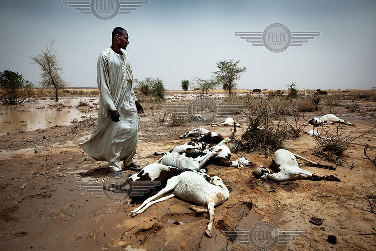 A herder stands by his dead goats. Weakened by a period of draught, heavy rainfall then caused animals to become stressed causing them to die from heart attacks.