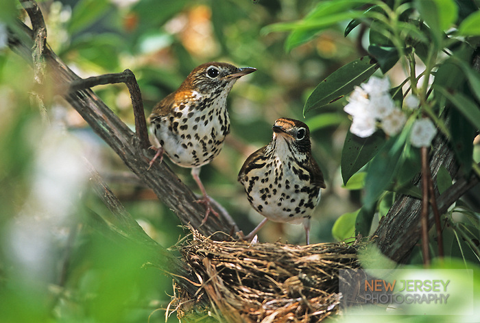 Wood Thrush, adults at the nest, Medford, New Jersey