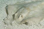 Sea of Cortez, Baja California, Mexico; a Round Stingray (Urolophus halleri) forages for food on the sandy sea floor