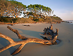 Jekyll Island, GA<br /> Morning light on driftwood and the distant windswept live oaks (Quercus virginiana) on a sand beach