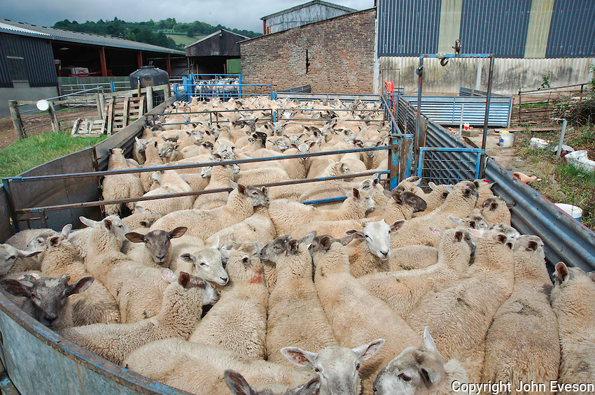 Charollais sired store lambs out of Mule ewes  in sheep handling pens, Skenfrith, Monmouthshire, Wales.