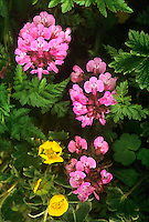 151900007  wild wooly lousewart wildflowers pedicularis kanei ssp kanei puts forth  striking pink blossoms surrounded by ferns and buttercups near mcneil river in alaska