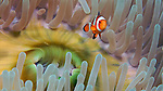 False Clown Anemonefish, Banda Sea, Indonesia