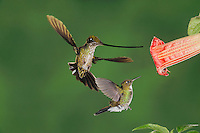 Sword-billed Hummingbird, Ensifera ensifera,female and Tourmaline Sunangel (Heliangelus exortis) feeding from Datura flower,Ecuador, Andes, South America