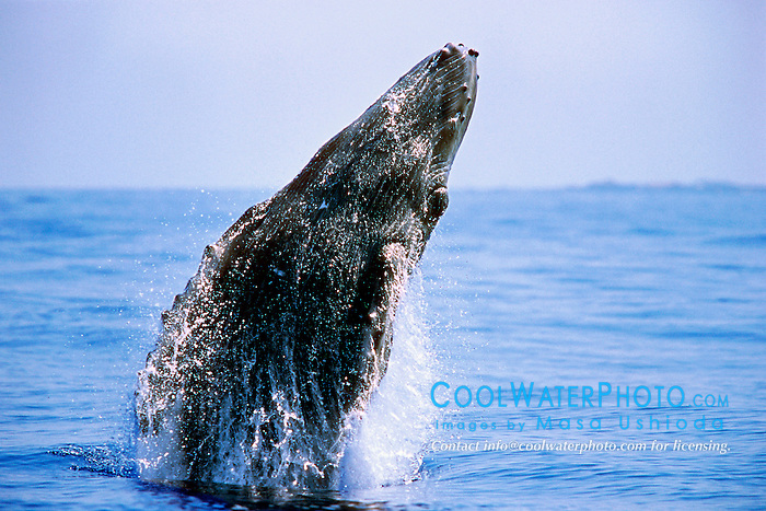humpback whale calf,  .breaching with eye open, .Megaptera novaeangliae, .Hawaii (Pacific)