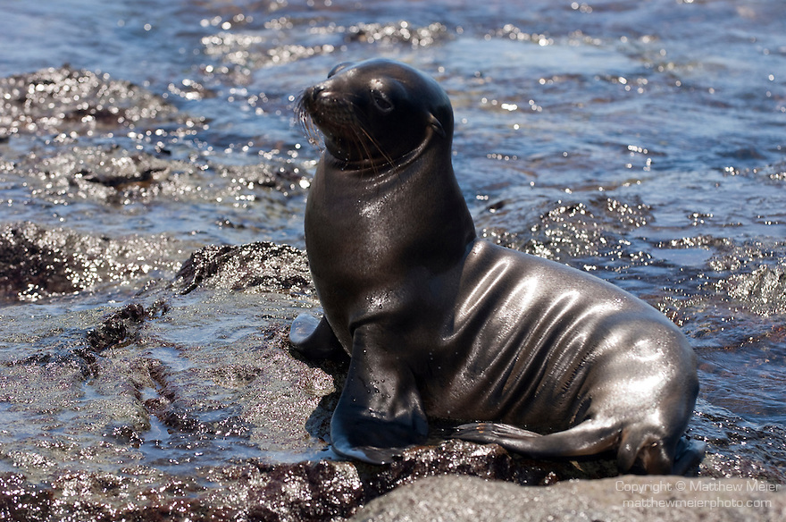 South Plazas Island, Galapagos, Ecuador; a young Galapagos Sea Lion (Zalophus wollebaeki) poses for a picture on the volcanic rocks that double as its rookery , Copyright © Matthew Meier, matthewmeierphoto.com All Rights Reserved