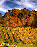 The vineyard takes on the colors of the surrounding hills and trees as autumn colors light up the landscape across southwestern Virginia (MountainRose Vineyards in Wise, Virginia).