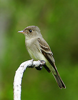 Adult willow flycatcher in May at Fort Hood, TX