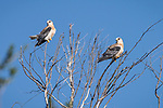 Rose Canyon, San Diego, California; two fledgling white-tailed kites perched in a leafless tree, soon after leaving the nest, their third sibling is in a nearby tree