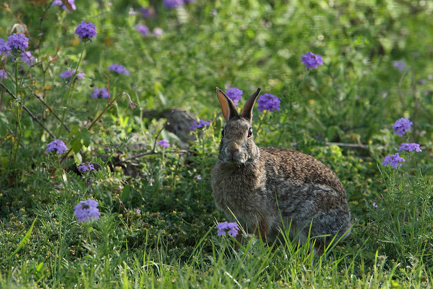 Cottontail Rabbit and Prairie Verbena.