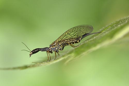 Phaeostigma notata - a snakefly, family Raphidiidae