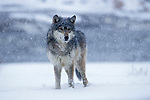 Timber or Grey Wolf ( Canis Lupus ) - Minnesota  USA  .wolf in snow storm, remote, desolate.USA....