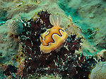 Ngerchong Drop-Off, Palau -- The strikingly beautiful nudibranch Chromodoris coi.