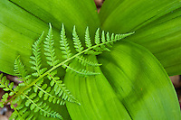 False hellebore aka. Indian Poke (Veratrum viride) and fern, The Priest Wilderness Area