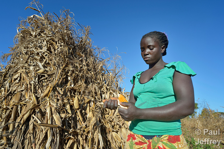 Maureen Ngulube harvests corn in Edundu, Malawi. She and other farmers in the village have benefited from intercropping and crop rotation practices they learned from the Malawi Farmer-to-Farmer Agro-Ecology project of the Ekwendeni Mission Hospital AIDS Program, a program of the Livingstonia Synod of the Church of Central Africa Presbyterian.