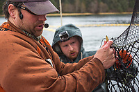 Commercial fishermen Ron Blake and Steffan Ronnegard mend the seine net of the F/V Ace,  during the Sitka sac roe herring fishery, Sitka Sound, southeast, Alaska