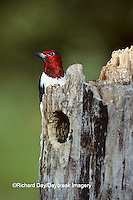 01197-00815 Red-headed Woodpecker (Melanerpes erythrocephalus) at nest site   IL