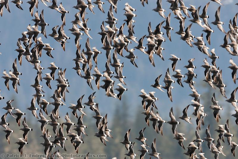 Flocks of Surfbirds, Unakwik Inlet, Prince William Sound, southcentral, Alaska
