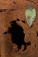 Após o corte madeireiro marca a árvore e o toco da raiz para começar a cadeia de custódia. <br /> Area de manejo sustentável para exploração madeireira da Cikel.<br /> Paragominas, Pará, Brasil<br /> Foto Paulo Santos/Interfoto<br /> 17/11/2008(Multiple values)