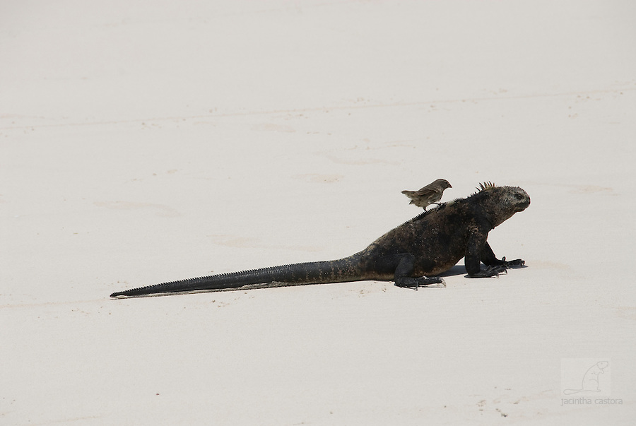 Charles Darwin did ride a tortoise, but this litlle finch is riding an iguana. The finch is the cleaning lady, who cleans the iguana skin her on tortuga bay Galapagos.