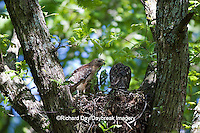 00794-00620 Red-shouldered Hawks (Buteo lineatus) adult with nestlings at nest, Marion Co., IL