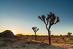 The orange-red glow of the setting sun casts a warm light on Joshua Trees in Joshua Tree National Park, California.