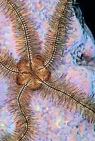 Sponge brittle star, Ophiothrix suensonii, Bonaire, Caribbean Netherlands, Caribbean