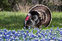 Rio Grand Turkey in bluebonnets