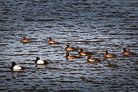 Two male Greater scaup and eight females swim in unison along the shores of the San Leandro Bay at the Martin Luther King Jr. Regional Shoreline in Oakland, California.
