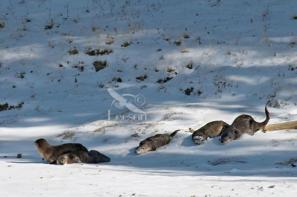 Northern River Otter (Lontra canadensis) sliding/playing on river bank.  Winter.