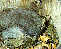 Relmuis of Zevenslaper (Glis glis) winterslapend