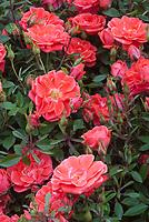 Rosa 'Hand in Hand' = 'Haratzec' (Patio/minature) roses, orange piink