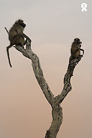 South Africa, Kruger National Park, Chacma baboons (Papio Ursinus) sitting on dead tree at sunset, side view (Licence this image exclusively with Getty: http://www.gettyimages.com/detail/sb10068805ag-001 )