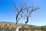 Dramatic dead Rhododendron arboreum tree branches blue sky, Horton Plains National Park, Central Province, Sri Lanka, Asia