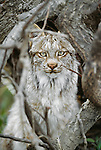 Canada lynx , Arctic National Wildlife Refuge, Alaska, USA