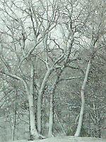 Snow and ice  covered tress  during early spring rain and snow storm April 23, 2005. Canatara Park
