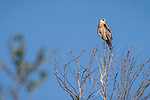 Rose Canyon, San Diego, California; a fledgling white-tailed kite perched on the top branch of a leafless tree