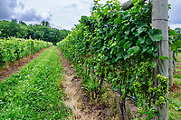 Grapes hang on the vines awaiting verasion, the start of the ripening process, Finger Lakes Region, Yates County, New York