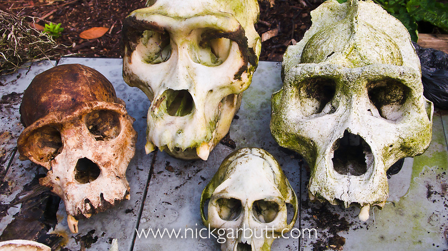 Various skulls of primates (monkey, gorilla, chimpanzee) killed / poached illegally for the bush meat trade. With gun cartridges and snares. Loango National Park, Gabon, Central Africa.