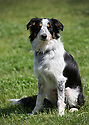 """04/07/15<br /> <br /> Yumi photographed yesterday at Colliefest, in Ashbourne, Derbyshire.<br /> <br /> Full story here: http://www.fstoppress.com/articles/hermaphrodite-dog/<br /> <br /> The new owners of this rescued one-year-old Border Collie were stunned when their vets discovered that their new dog was neither male nor female, but both.<br /> <br /> John and Susan Martin picked up Yumi, a healthy young dog, from Protecting Preloved Border Collies in May. """"Soon after we got her home she developed an infection in her 'lady-bits'"""" said John.<br /> <br /> """"They feared she had Pyometra - an infection of the uterus which can be fatal in dogs if not caught quickly"""" he added.<br /> <br /> Their local vets in Hull treated her with antibiotics and anti inflammatory drugs.<br /> <br /> When she didn't seem to be getting any better they took a closer look and noticed what they thought was a bone growing out of her vulva. Yumi was referred to the Small Animal Teaching Hospital in Liverpool who identified 'the bone' as growing male genitalia.<br /> <br /> Yumi had surgery to remove the growth. Then a second operation to spay her revealed what vets first believed to be tumours on her ovaries. But these tumours were discovered to be testicle tissue. They were also removed successfully. The vets explained that although Yumi was 'intersex' (or hermophrodite) she was more female than male.<br /> <br /> All Rights Reserved: F Stop Press Ltd. +44(0)1335 418629   www.fstoppress.com."""