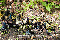 03845-00504 Pipevine Swallowtails, Spicebush Swallowtails, & Eastern Tiger Swallowtails puddling, Tremont Area, Great Smoky Mountains NP, TN