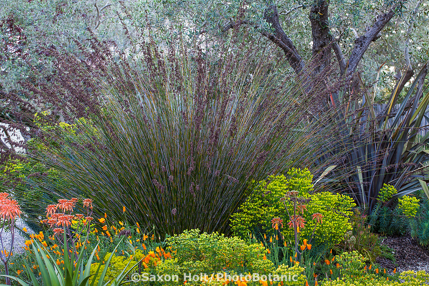 Thamnochortus insignis Thatching Reed, tall grasslike restio flowering in McAvoy Garden - California summer-dry garden; Ground Studio Landscape Architecture