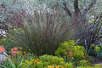 Thamnochortus insignis Thatching Reed, tall grasslike restio flowering in McAvoy Garden - California summer-dry garden; Ground Studio Landscape Architecture