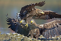 Seeadler, See-Adler, Adler, Haliaeetus albicilla, White-tailed Eagle, eagle of the rain, sea grey eagle, erne, gray eagle, white-tailed sea-eagle, Pygargue à queue blanche