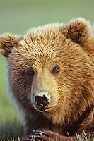 Grizzly Bear or Coastal Brown Bear (Ursus arctos) in Alaska.