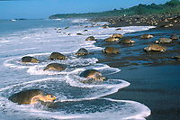 female olive ridley sea turtles, Lepidochelys olivacea, come and go from nesting beach during arribada ( mass nesting ) Ostional, Costa Rica, Pacific Ocean