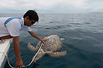 WWF Malaysia Staff measures a dead floating turtle. A possible bycatch thrown out from a trawler boat.